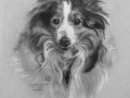 Angel the Sheltie