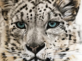 Snow-Leopard Painting